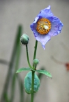 Our Himalayan Blue Poppy's First Bloom –xyldrae.com